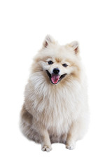 Smiling dog - the Pomeranian (often known as a Pom) is a breed of dog of the Spitz type. Isolated on white. Shallow focus.