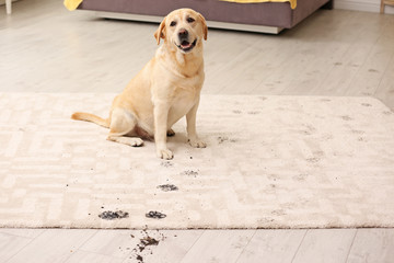 Cute dog leaving muddy paw prints on carpet