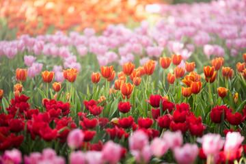 tulips flowers in the garden