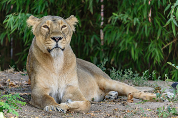 Die Löwenmutter