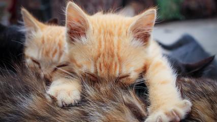 Two small striped orange tabby kittens sleeping on top of tortoiseshell mother cat