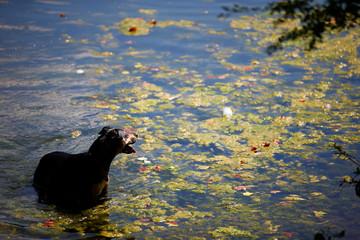 A dog takes a swim in the public bathing pond on Hampstead Heath in London