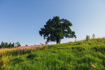 oak tree on green meadow at sunny summer day