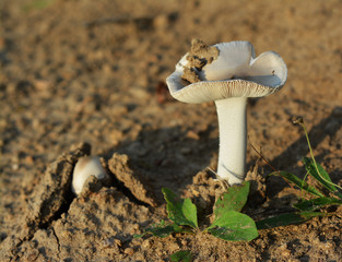 amanita argentea mushroom