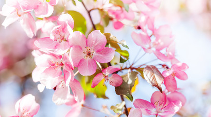 Hawaiian style floral background. Blossoming pink petals flowers close-up. Fruit tree branch on blue sky background, sunny day light. Shallow depth of field
