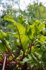 green beetroot in a vegetable garden