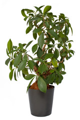 Bonsai Ficus Ginseng in Blumentopf
