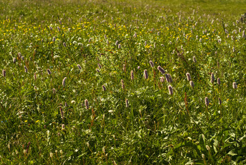 natural background - alpine meadow motley grass with rosy inflorescences of snakeroot..