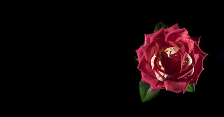 rose on black background top view