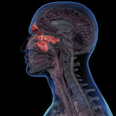 Sinuses Highlighted in Cross Section of Man's Head Anatomy