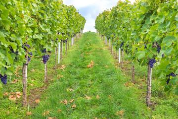Rote Weintrauben an der Rebe im Weinberg