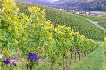 Weintrauben an der Rebe im Weinberg