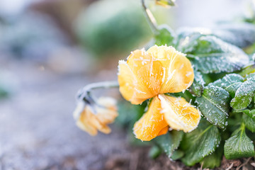 Macro closeup of yellow and orange pansy flower with frost ice crystals in winter morning in outdoor garden
