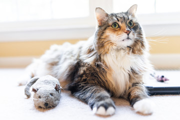 Playful lazy maine coon calico cat closeup playing with catnip mouse rat toy with paws indoors lying on carpet floor indoor living room
