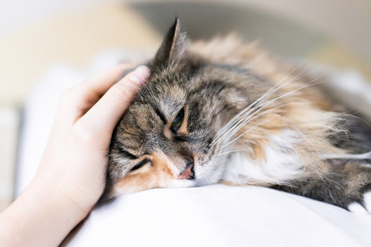 Closeup portrait of one sad calico maine coon cat face lying on bed in bedroom room, looking down, bored, depression, woman petting head