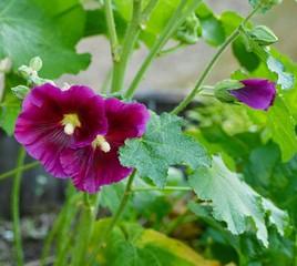 Twin purple hollyhocks
