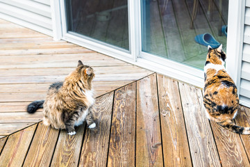 Two maine coon and stray calico cats sitting outside by house, home wooden deck, glass door wanting, waiting, asking, begging to go inside