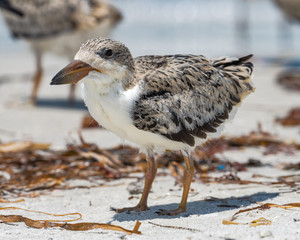 Chick on beach is almost flight-capable chick
