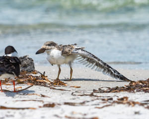 Black skimmer chick with one wing streteched