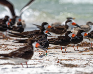 Banded black skimmer in the colony