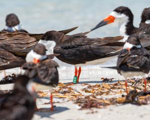Banded black skimmer resting on the beach
