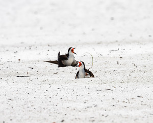adults with chicks under wing