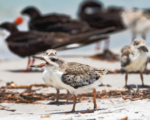 Chicks walking in front of another chick on the shoreline with adults