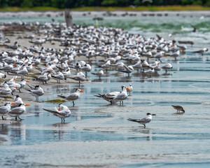 Royal terns colony on the beach