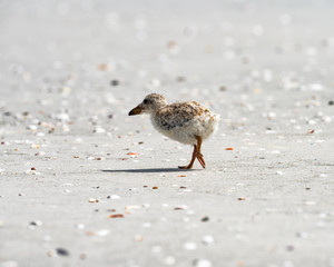 Small chick walking on the sand