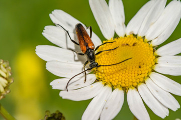 Red mustachioed insect sits on a white daisy flower