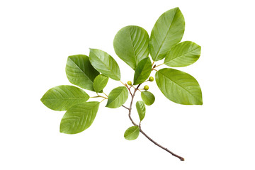 Branch with green leaves, isolated on white background Wall mural