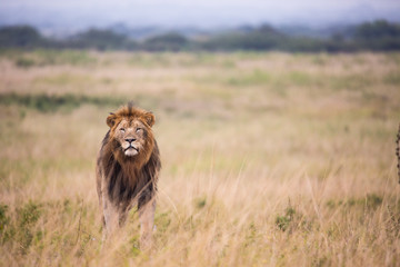 Fotobehang Afrika Male Lion Stalking prey