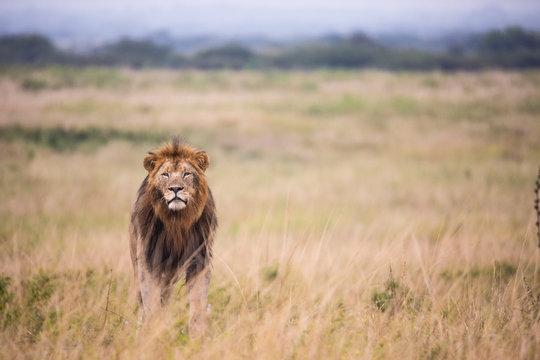 Male Lion Stalking prey