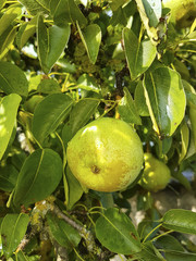 Ripe pears on a tree. Pear tree with green leaves and fruits.