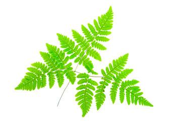 Common oak fern (Gymnocarpium dryopteris) leaves isolated on white background.