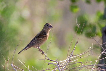 Blue grosbeak female in cottonwood forest along Rio Grande river in northcentral New Mexico