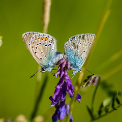 Northern Blue's mating