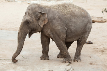 Asian elephant (Elephas maximus).