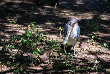 Large wading bird Marabou stork on ground