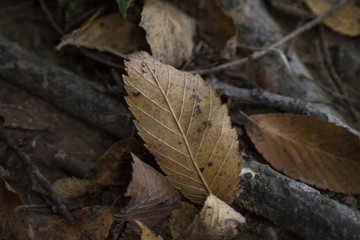 Elm leaf, brown, on the forest floor in autumn