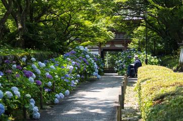 大阪池田・久安寺の紫陽花と絵を描く人