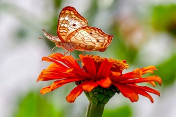 Closeup, butterfly facing up on yellow and orange zinnia flower with green and white blurred background