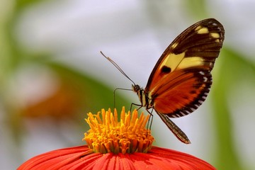 Colorful butterfly resting on yellow and orange zinnia flower with blurred green and white background, closeup