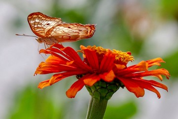 Closeup, butterfly faced down on yellow and orange zinnia flower with green and white blurred background