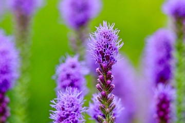 Lavender thistle flowers in green field with blurred background