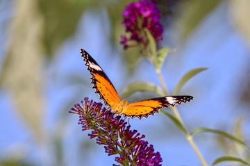 Leopard Lacewing Butterfly resting on a lavender flower, closeup, blurred background