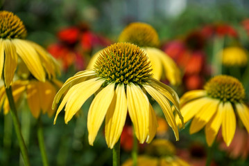 Closeup, Yellow Cone Flowers in a garden with red and green blurred background
