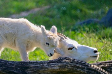 Mother and Baby Dall Sheep in green grass with tree log, white, closeup, summer, sunny, beautiful, loving, together