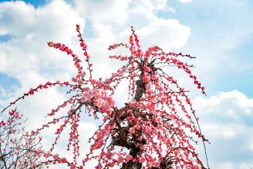 紅梅 ピンクの梅 しだれ梅