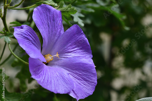 Lilac Hibiscus Flower In Bloom Stock Photo And Royalty Free Images